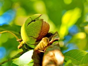 Baumnüsse mit Fruchtschalen. Foto Uschi Dreiucker, pixelio.de