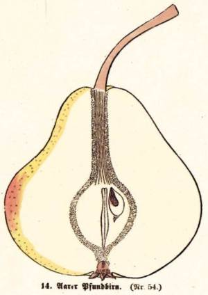 Aarer Pfundbirn, Quelle: Iglhauser B., Keser M. (1998): Pirarium.
