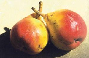 Angelica, fonte: P. Odorizzi: Profumi e sapori perduti - Il fascino della frutta antica Vol.II (2005)