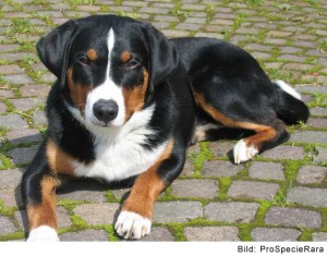 Appenzeller_Sennenhund_ProSpecieRara_1