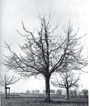Eine gut aufgebaute Baumkrone. Quelle: Kunz 1945