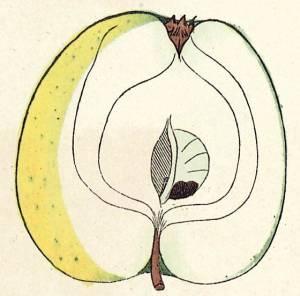 Ananasrenette, Quelle: Iglhauser B., Eipeldauer H., (1996): Pomillennium.