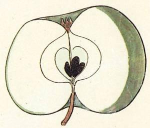 Graue Portugeisische Renette, Quelle: Iglhauser B., Eipeldauer H., (1996): Pomillennium.