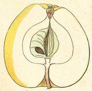 Goldgulderling, Quelle: Iglhauser B., Eipeldauer H., (1996): Pomillennium
