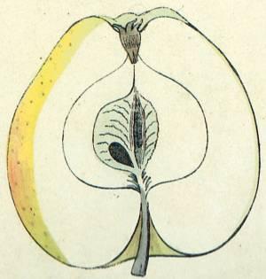 Gelber Bellefleur, Quelle: Iglhauser B., Eipeldauer H., (1996): Pomillennium