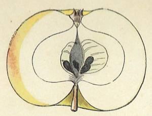 Apfel von Hawthornden, Quelle: Iglhauser B., Eipeldauer H., (1996): Pomillennium.