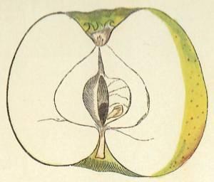 Doodapfel, Quelle: Iglhauser B., Eipeldauer H., (1996): Pomillennium.