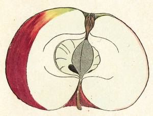 Blutroter Kardinal, Quelle: Iglhauser B., Eipeldauer H., (1996): Pomillennium.