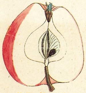 Beispiel_Rosenaepfel