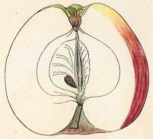 Roter Eckapfel, Quelle: Iglhauser B., Eipeldauer H., (1996): Pomillennium