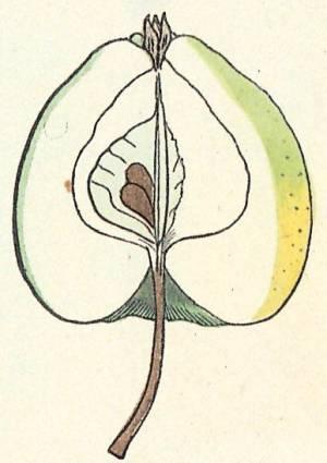 Harrisons Eyderapfel, Quelle: Iglhauser B., Eipeldauer H., (1996): Pomillennium.