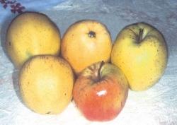 Belfiore Giallo, fonte: P. Odorizzi, S. Abram: Profumi e sapori perduti - Il fascino della frutta antica Vol. I (2001)