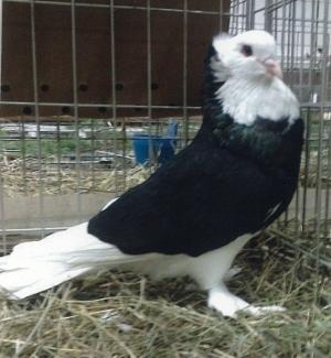 Slovenian Beloglavcek pigeon