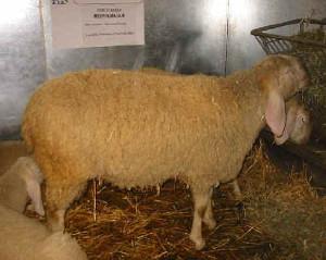 Bergamasca (www.agraria.org)