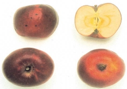 Black Ben Davis, fonte: P. Odorizzi, S. Abram: Profumi e sapori perduti - Il fascino della frutta antica Vol. I (2001)
