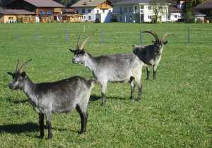 Blobe Ziege (arche-austria.at)
