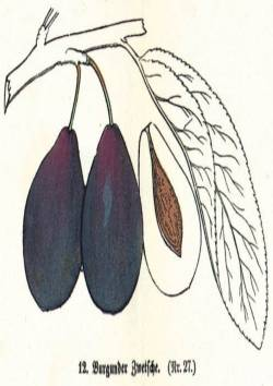 Burgunder Zwetsche, Quelle: Iglhauser B., Keser M. (1997): Prunarium.