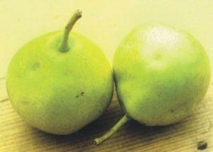 Butirra Diel, fonte: P. Odorizzi: Profumi e sapori perduti - Il fascino della frutta antica Vol.II (2005)