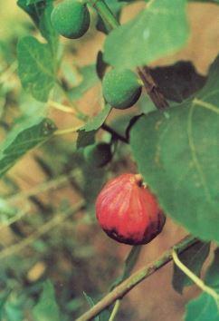 Callara, fonte: U. Fiorini: Il fico - Pianta Mediterranea della Fortuna (2000)