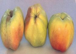 Calvilla Bianca d'Inverno, fonte: P. Odorizzi, S. Abram: Profumi e sapori perduti - Il fascino della frutta antica Vol. I (2001)
