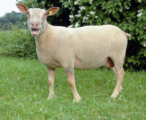 Charollaise suisse (schaf-ag.ch)