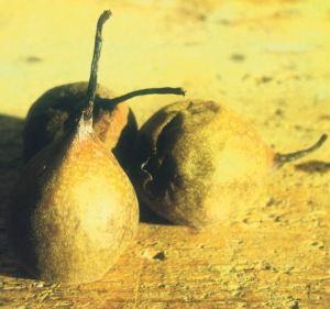 Cruset, fonte:  P. Odorizzi: Profumi e sapori perduti - Il fascino della frutta antica Vol.II (2005)