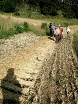 Die Roggengarben trocknen auf dem Feld