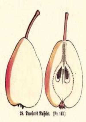 Decoster's Russelet, Quelle: Iglhauser B., Keser M. (1998): Pirarium.