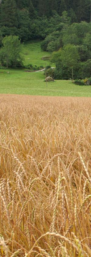 Ausschnitt aus einem Dinkelfeld bei Zillies-Reischen (GR). Quelle: Peer Schilperoord