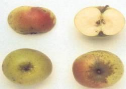 Dolce Piatto,  fonte: P. Odorizzi, S. Abram: Profumi e sapori perduti - Il fascino della frutta antica Vol. I (2001)