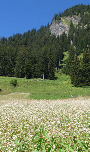 Buchweizenfeld Castiel. Quelle: Gran Alpin