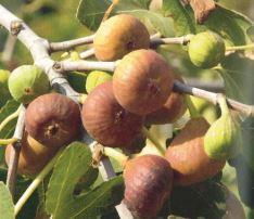 Ficus carica, fonte: Enzyklopädie der Wildobst- und seltenen Obstarten