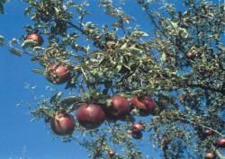Fragone, fonte: P. Odorizzi, S. Abram: Profumi e sapori perduti - Il fascino della frutta antica Vol. I (2001)