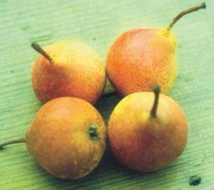 Ghiacciola di Parma, fonte: P. Odorizzi: Profumi e sapori perduti - Il fascino della frutta antica Vol.II (2005)