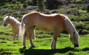 Haflinger Stute mit Pony Quelle:732392_web_R_by_Rike_pixelio.de