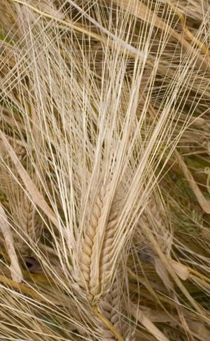 Eine ursprüngliche 6-zeiige Gerste mit gedrungener Ähre. Landsorte von Laax (GR). Quelle: Peer Schilperoord