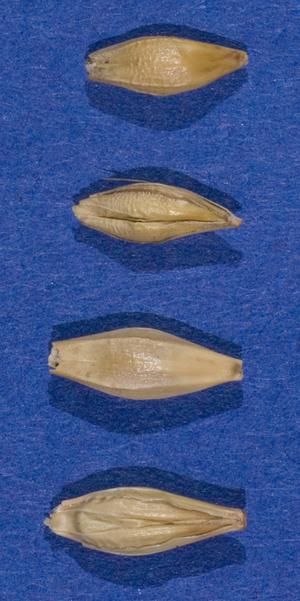 Die beiden unteren Körner standen jeweils in der Mitte, die beiden oberen waren flankierend. Der Bauch des Kornes ist gefurcht, der Rücken rundlich. Quelle: Peer Schilperoord