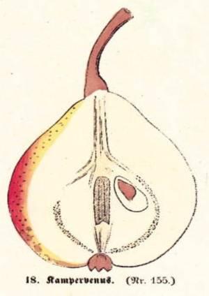 Kampervenus, Quelle: Iglhauser B., Keser M. (1998): Pirarium.