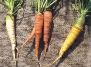 Karotten; Quelle: Haferwurzel und Feuerbohne