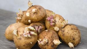 Kartoffelaugen als Saatgut (Foto www.t-online.de)