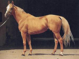 Kinsky Pferd (pferde-rassen.de)
