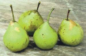 Klotze, fonte: P. Odorizzi: Profumi e sapori perduti - Il fascino della frutta antica Vol.II (2005)