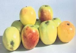 Limonzino, fonte: P. Odorizzi, S. Abram: Profumi e sapori perduti - Il fascino della frutta antica Vol. I (2001)