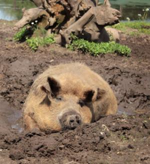 Magalitza-Schwein (www.provieh.de)