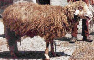 Marrana Schaf (www.agraria.org)