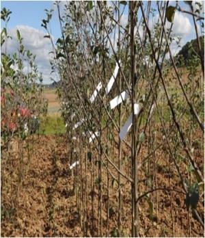 Mehrsortenbaum (Foto diybook.de)