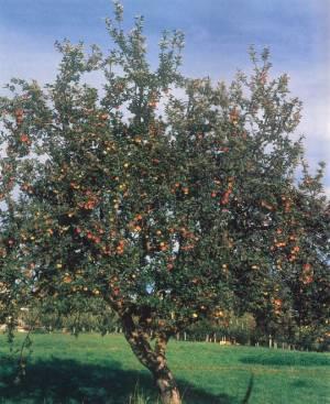 Il melo, fonte: P. Odorizzi, S. Abram: Profumi e sapori perduti - Il fascino della frutta antica Vol. I (2001)