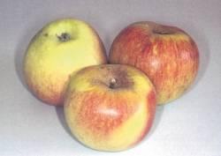 Parmain Dorata, fonte: P. Odorizzi, S. Abram: Profumi e sapori perduti - Il fascino della frutta antica Vol. I (2001)