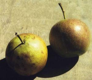 Per Ricoton, fonte: P. Odorizzi: Profumi e sapori perduti - Il fascino della frutta antica Vol.II (2005)