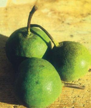 Per de la Coa Torta, fonte: P. Odorizzi: Profumi e sapori perduti - Il fascino della frutta antica Vol.II (2005)